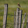 Wilson's Snipe on Fence