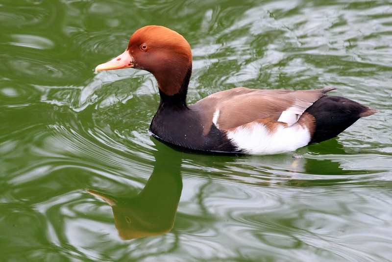 Red-crested Pochard ~ Netta rufin