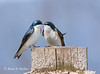 Tree Swallows: Massachusetts