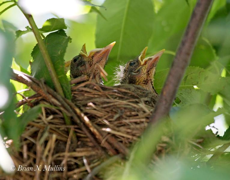 Robin chicks awaiting a meal.