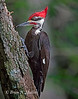 Pileated Woodpecker working on a tree.