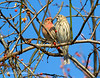 Male and Female House Finch: Connecticut