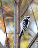 Downy Woodpecker: Connecticut