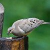 Mourning Dove eating suet