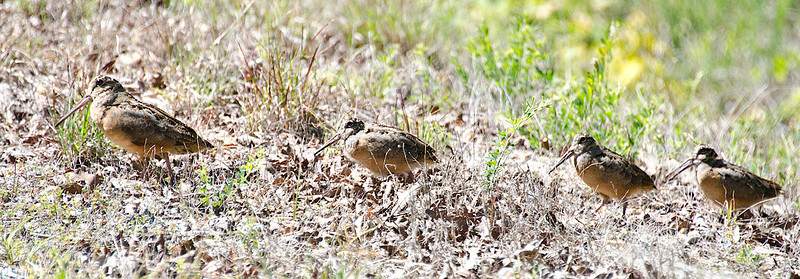 American Woodcock with chicks
