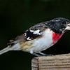 Second year (2Y) male Rose-breasted Grosbeak
