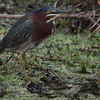 Green Heron, Circle B Bar Reserve, Lakeland Florida