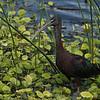 Glossy Ibis, Viera Wetlands, Melbourne, Florida