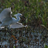 Snowy Egret,Circle B Bar Reserve, Lakeland Florida