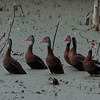 Black-bellied Whistling Ducks, Circle B Bar Reserve, Lakeland, Florida