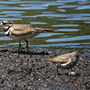 Kildeer and Spotted Sandpiper