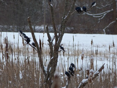Tree Swallows on a Snowy April Day