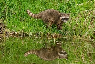 Raccoon0743