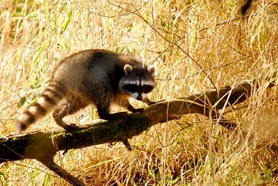 Raccoon9109