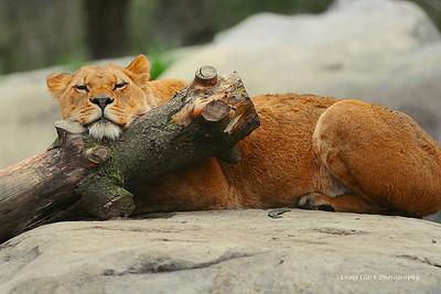 Zoo lion 5120web
