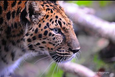 Zoo Leopard 5216web