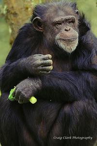 Zoo Ape 5174web