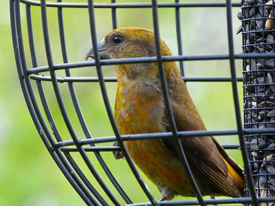 Red Crossbill male in feeder that excludes larger birds