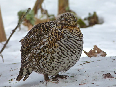 Spruce Grouse female