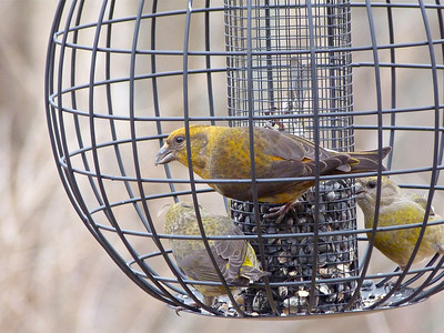 Red Crossbills Type 1 per Matthew Young from audio sent to him