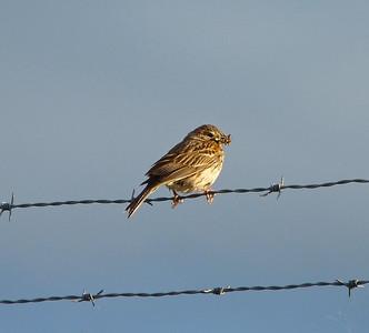 Vesper Sparrow, carrying food