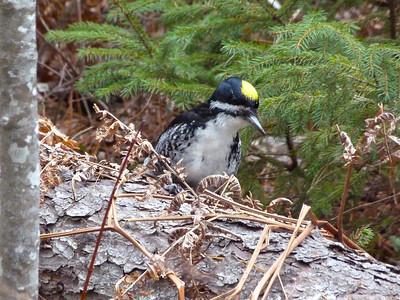Black-backed Woodpecker male