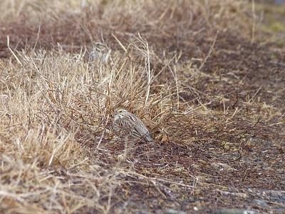 Savannah Sparrow, Ipswich Sparrow race