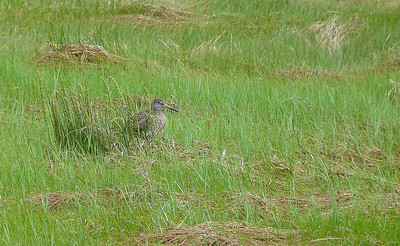 Willet (not on a nest)