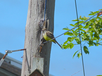 Great Crested Flycatcher, above nest box