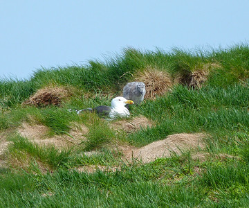 Great Black-backed Gull with chick (taken across a huge gap at Cape Split, NS)
