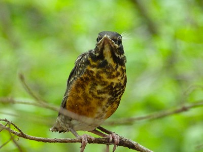 American Robin young bird, out of nest