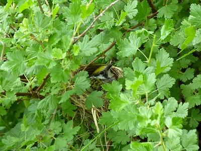 Chestnut-sided Warbler on nest