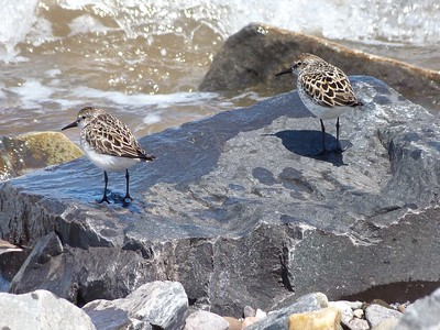 Semipalmated Sandpipers in breeding plumage