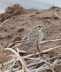 Savannah Sparrow, Ipswich Sparrow subspecies