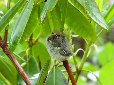 Chestnut-sided Warbler juvenile, left nest naturally, not flushed