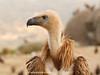 Buitre leonado (Gyps fulvus) / Griffon vulture