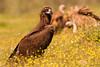 Buitre negro (<em>Aegypius monachus</span></em>) /Cinereous Vulture