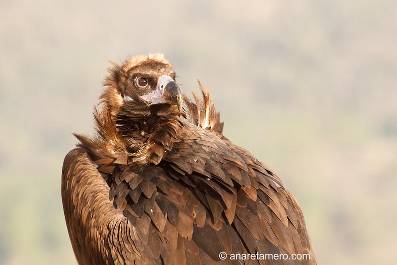 Buitre negro (Aegypius monachus)  /Black Vulture