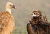 Buitre negro (Aegypius monachus)  y buitre leonado (Gyps fulvus) /Black Vulture/ Griffon vulture