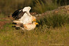Alimoches Egyptian Vulture (Neophron percnopterus)
