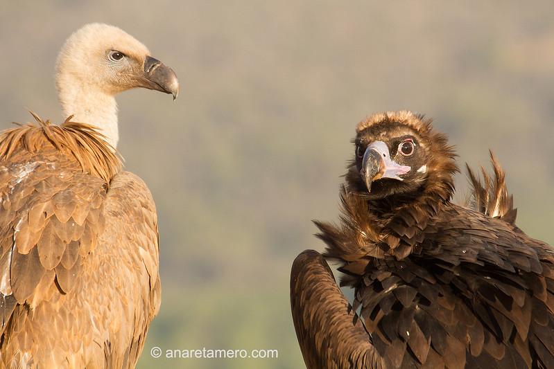 Buitre negro (Aegypius monachus)  y buitre leonado (Gyps fulvus) /Cinereous Vulture/ Griffon vulture