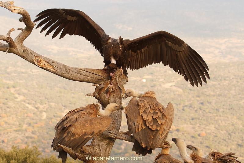 Buitre negro (Aegypius monachus)  y buitres leonados (Gyps fulvus) /Cinereous Vulture/ Griffon vulture