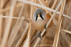 Bigotudo macho ( Panurus biarmicus) Bearded reedling