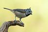 Herrerillo capuchino (<em>Parus cristatus</span></em>) / Crested tit
