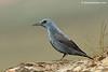 Roquero solitario macho (Monticola solitarius)