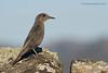 Roquero solitario hembra  (Monticola solitarius)