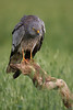 Aguilucho cenizo macho (<em>Circus pygargus</span></em>) / Montagu's Harrier