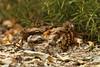 Chotacabras pardo con  su cría/ Red-necked Nightjar   (<em>Caprimulgus ruficollis</span></em>)