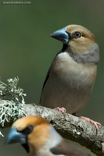 Picogordo hembra (<em>Coccothraustes coccothraustes</span></em>) /Female hawfinch