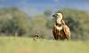 Buitre leonado (<em>Gyps fulvus</span></em>) / Griffon vulture
